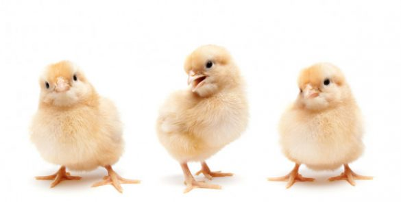 depositphotos_3885748-stock-photo-three-cute-baby-chickens-chicks